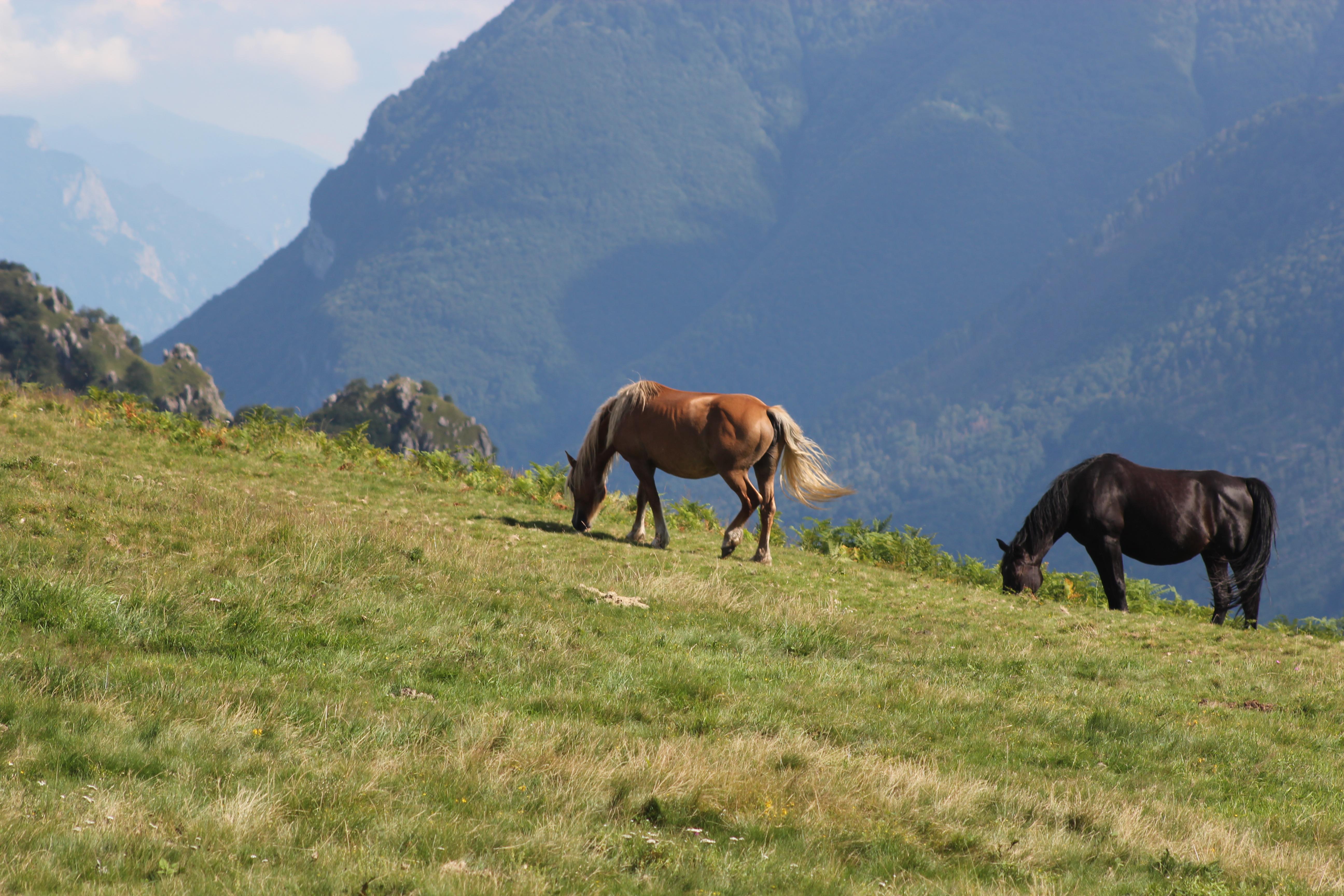 Cavalli montagna